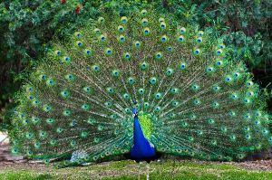 Peacock_With_Fanned_Tail_600[1]